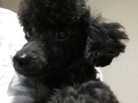 保護犬子犬トイプー